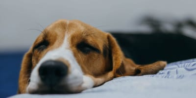 beagle sleeping on white sheets