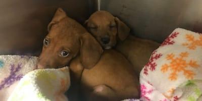 cuccioli di cane marrone