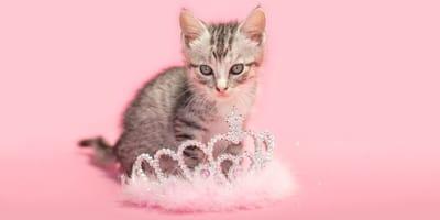 Una gatita elegante delante de una corona