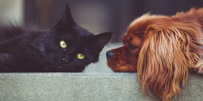 A black cat and brown dog are face to face