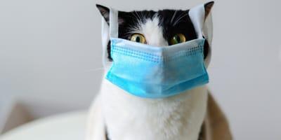 gatos vacunas covid coronavirus