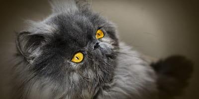 Gatto-Persiano-con-sequestro-corneale