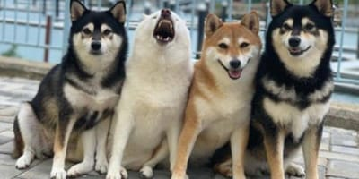 Dogs posing for photo
