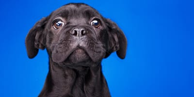 black bully-type puppy making puppy-dog eyes in front of blue background