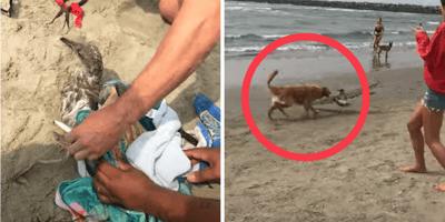 Golden Retriever fängt Möwe am Strand