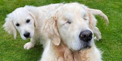 Este golden se quedó ciego pero un cachorrito llegó para devolver la luz a su vida