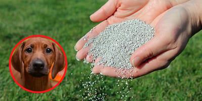 Ist Rasendünger für Hunde giftig?
