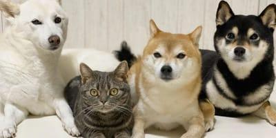 Koti trzy shiba inu