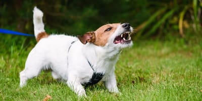 Why do dogs bark at one person and not another?