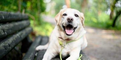 Labrador na ławce w parku