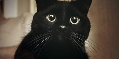 Caso Negrito: investigadores españoles aseguran que los gatos no contagian