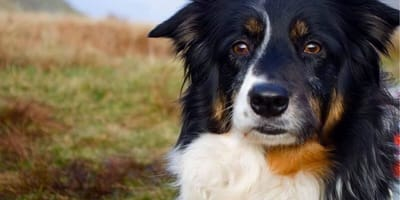 Picture of Border Collie Skye