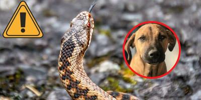 Gefahr auf dem Gassigang: Kreuzotter trifft auf Hund
