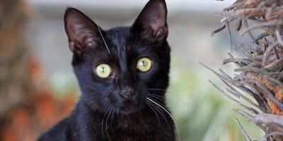 gato negro bombay