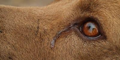 depresion en perrita al perder a sus cachorros