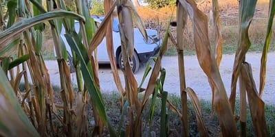 Se esconde en un maizal para grabar a su vecina: cuando publica el vídeo las redes arden