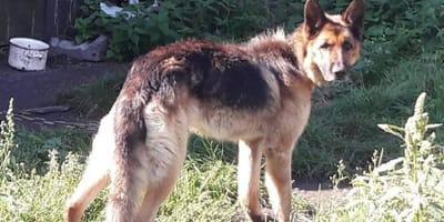 Adoptował psa, ale zapomniał go karmić: smutna historia owczarka niemieckiego