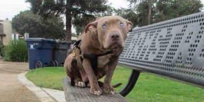 Pitbull marrone cieco su una panchina