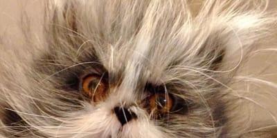 Na jego widok, większość ludzi wydaje okrzyk przerażenia: Atchoum to jedyny kot na świecie z syndromem wilkołaka