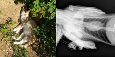 Lleva a su gato herido al veterinario: lo que revela la radiografía deja en shock al veterinario