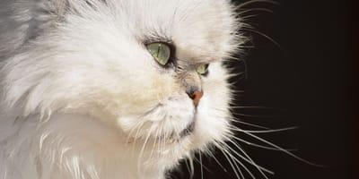 gatto-Persiano-con-policistosi-epatica
