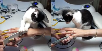 Kitten at nail salon helps out with customers, leaving everyone stunned