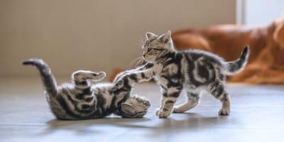 Jak rozpoznać płeć kota? Wyjaśniamy