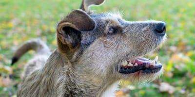 Promedio de vida de un perro criollo: ¿cuánto viven estos perritos?