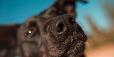 Czarny pies i jego nos zbliżenie