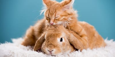 Do cats and rabbits get along?
