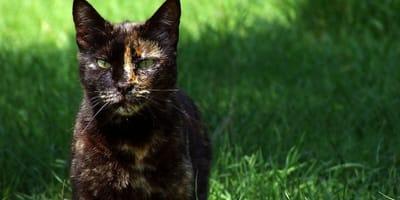 Tortoiseshell cat on the grass