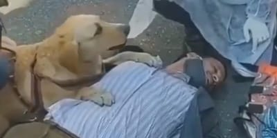 dog guarding her owner