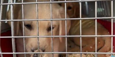 Labrador Welpe in Käfig