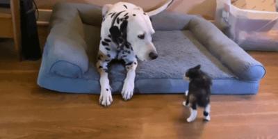 Podekscytowany kociak wystawia na próbę cierpliwość dalmatyńczyka. Efekt zaskakuje! (VIDEO)