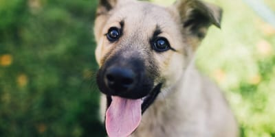 Kann ich das Immunsystem des Hundes mit Colostrum stärken?