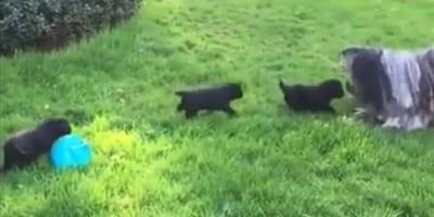 Mamma cane di razza Komondor gioca con i suoi tre cuccioli