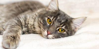 Zapalenie żołądka u kota - przyczyny, objawy, leczenie