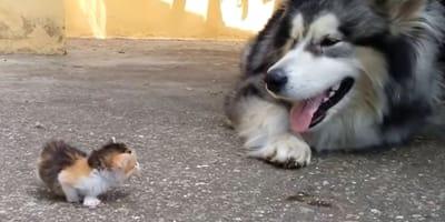 Husky spotyka małego kociaka: nagle wszystko zaczyna się dziać bardzo szybko (VIDEO)