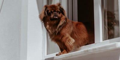 Pies wygląda przez okno