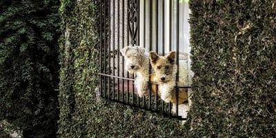 dos perros asomados por la verja de la ventana