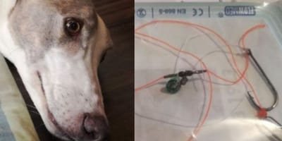 Owners see something strange in dog's mouth and rush him to the vets