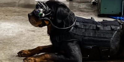 Mater, the Rottweiler wears his owners goggle invention
