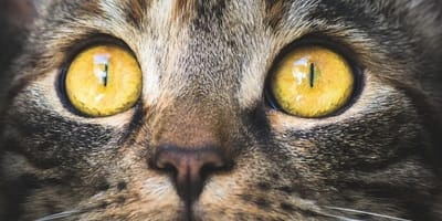 Close up of a cat's eyes