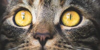 primo piano di occhi di gatto