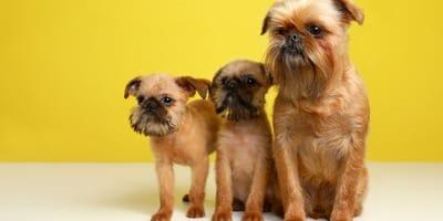 Los grifón de bruselas son perros bastante amigables