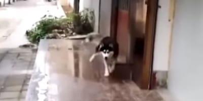 Ten husky w bardzo zabawny sposób NIE radzi sobie z zimą (VIDEO)