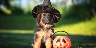 german shepherd puppy wearing witch hat and sitting on grass next to plastic jack o lantern