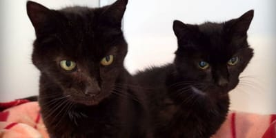 Black elderly cat brothers