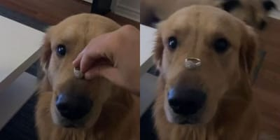 Dog with ring balanced on nose