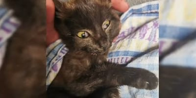 gatito negro envuelto en una mantita
